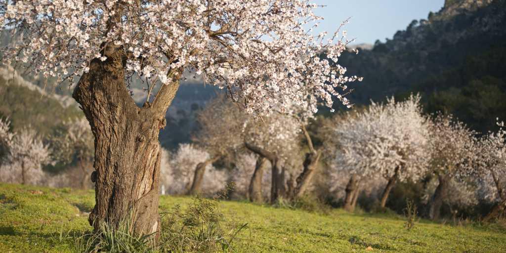 Wandern zur Zeit der Mandelblüte