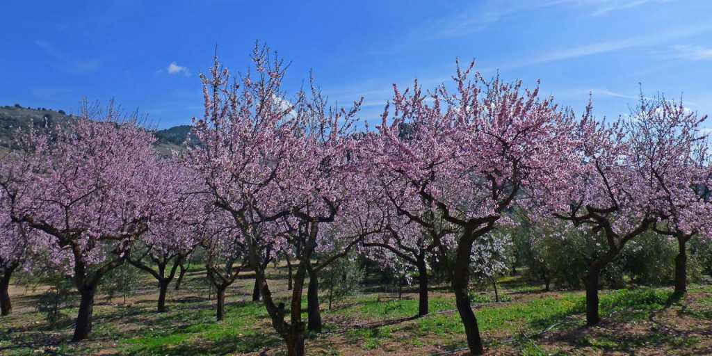 Mallorca: Geführte Trekkingtour in der Sierra de Tramuntana - Mandelblüte